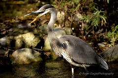 Great Blue Heron (Roger Daigle) Tags: blue heron birds nikon great nik 28 nikkor capture 70200 d610 vrii nx2