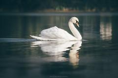Lenka (Katarina Drezga) Tags: autumn lake bird nature birds animals swan wildlife swans vojvodina srem nikond3100 nikkor55300mm4556gvr