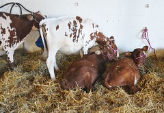 Goshen Fair 2015 (caboose_rodeo) Tags: cows spots livestock 715 dairycattle connecticutstateagriculturalfairs