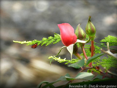 Buscandose II  - Diaz de vivar gustavo (Diaz De Vivar Gustavo) Tags: naturaleza flores garden flor jardin rosa armonia encontrarse desencuentro buscandose desapegandose