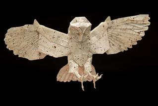 Origami Barn Owl