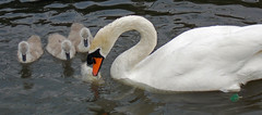 Save some for us. (Lee1885) Tags: fish water pen canal nikon cygnet swans cob