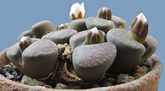 Lithops villetii subsp. deboeri. [C 230A, South Africa, 75 km E of Gamoep, type locality] (1) (Succulents Love by Pasquale Ruocco (stabiae)) Tags: southafrica succulent lithops mesembryanthemum namibia mimicry succulents stabiae mimetismo piantegrasse aizoaceae succulente mesembryanthemaceae cactusco mesembs floweringstones sassifioriti pasqualeruocco mesembryanthema succulentslove forumcactusco