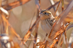 Le Conte's Sparrow (malcolmgold) Tags: usa kansas shawneemissionpark 2015 johnsoncounty lecontessparrowammodramusleconteii