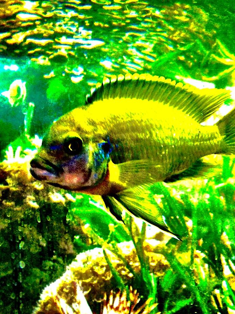 The world 39 s best photos of aquarium and oscar flickr for Florida tropical fish farms