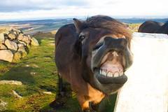 Laughing Boy! (Jim606) Tags: scotland teeth pony comical eastlothian traprainlaw exmoorpony laughinghorse