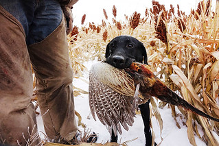South Dakota Luxury Pheasant Hunt - Gettysburg 61