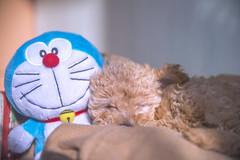 (formisano.valentina) Tags: portrait cute night puppy doraemon  peluche  barboncino tenerezza