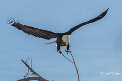 Bald Eagle launches, snaps off branch - Sequence - 7 of 13