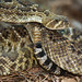 Western Diamond-backed Rattlesnake