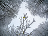 Winter Fruit (Jens Haggren) Tags: olympus em1 samyang75mm winter fruit apples trees snow sky clouds sooc nacka sweden jenshaggren