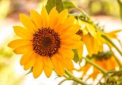 Happy Flower (Daniela 59) Tags: sunflower happy flower yellow joy sunshine happynewyear firstphotofor2017 danielaruppel