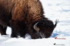 WINTER IS HARSH ... (Aspenbreeze) Tags: bison buffalo winter snow bisoneating wyomingwildlife wildlife coloradowildlife rural nature bevzuerlein aspenbreeze moonandbackphotography