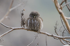 Peruvian Pygmy Owl (Baractus) Tags: santa eulalia valley john oates peru peruvian pygmy owl