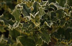 Tervuren.Belgium (Natali Antonovich) Tags: christmasholidays christmas winter tradition belgium tervuren nature flowers