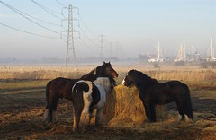 Ponies at Conyer Creek as the mist rolls in..... (favmark1) Tags: kent mist conyer 2017 365 365challenge day23 conyercreek winter