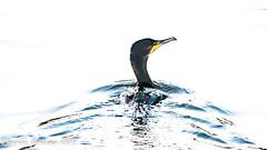 sliding on a silver sea (RCB4J) Tags: guvs garscubeestate nature rcb4j ronniebarron sigma150500mmf563dgoshsm sonyilca77m2 universityofglasgow art photography wildlife phalacrocoraxcarbo cormorant seabird bird aquatic marine hss happysliderssunday