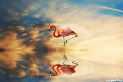Think of all the beauty (gusdiaz) Tags: flamingo photoshop photomanipulation digital art reflection water sunset sunrise beautiful nature bird clouds sky arte agua reflejo atardecer amanecer hermoso relaxing bokehlicious