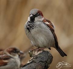 House Sparrow (►►M J Turner Photography ◄◄) Tags: wildlife housesparrow caerlaverock caerlaverocknationalnaturereserve wwtcaerlaverock southscotland scotland male malehousesparrow