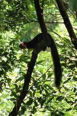 Indian giant squirrel: Tea plantation trek, South India (malithewildcat) Tags: malabargiantsquirrel indiangiantsquirrel squirrel southindia india kerala tamilnadu tea trek teaplantationtrek