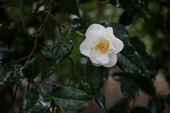 white camellia (Danielle_M_Bedics) Tags: nature descansogardens garden tree plant flower green grass forest enchantedforest woods magic magickalforest themagicoftrees rose rosesinthegarden rosegarden rain wet berries berry flowers plants trees leaves foliage brown rosemary blue pink white orange red camellia cameillaforest camelliatree bud flowerbud leaf leafmagic brownleaf branch branches bramble twig trunk treemagic treespirits treetrunk oak oaktree oakforest oakwoodland raining morning morninginthegarden morninglight rainymorning enchantedplaces mountain mountains sky winter solstice