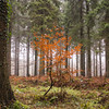 8/365 (Jane Simmonds) Tags: 8365 forestofdean nature trees beech mist woods 3652017