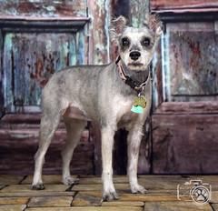 Bonnie2 (Shutters for Shelters) Tags: misfitsdogrescue schnauzers shuttersforshelters s4s jillt8 colorado dogs bonnie bluedoor