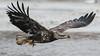 Bald Eagle - Dec-21-2016 (77-1) (JPatR) Tags: 2016 500mmf4 americanbaldeagle baldeagle canon7dmarkii december foxrivervalley illinois kanecounty bird eagle nature raptor wildlife winter