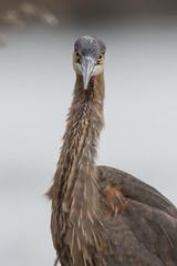 Great Blue Heron (Jesse_in_CT) Tags: greatblueheron nikon200500mm