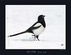 USA_4021 (Weinstöckle) Tags: elster schnee vogel rabenvogel