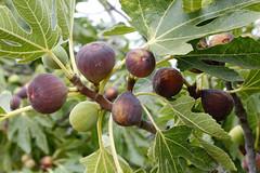 Fig (leontrees) Tags: higo higuera rbol gourmet antioxidante orgnico verde rama fruta alimento maduro hoja comidasana nutriente salud spain