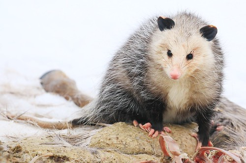 Virginia opossum near Decorah Fish Hatchery IA 854A2030