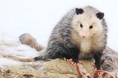 Virginia opossum near Decorah Fish Hatchery IA 854A2030 (lreis_naturalist) Tags: virginia opossum decorah fish hatchery winneshiek county iowa larry reis