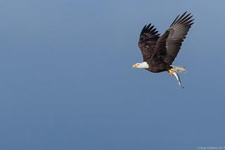 Rubino Bald Eagle adult in flight with fish 20170115 lake Jennings CA 115-3