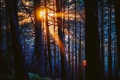 Sunbeams #21/365 (A. Aleksandravičius) Tags: juodkrantė sunset sunbeams forest lithuania nikon 135mm 135mmf2d nikon135f2 nikon135mmf2dc nikond810 135 nikon135mm nikonafdcnikkor135mmf2d nikkor135 nikkor 365days 3652017 d810 nikkor135mm 365 project365 21365