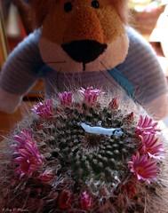 Leoncia ha regado su cactus. (Caty V. mazarias antoranz) Tags: acaress kisses besos pinchos cactus flres nature naturaleza españa flowers cacto suculentas succulents espinas cactusconflores leonciayelcacto