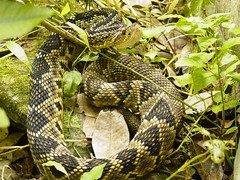 Cascabel Tropical (Crotalus durissus totonacus) (* Hi Tech Bio *) Tags: top20animalpix sierra leon silla monterrey crotalus serpiente cascabel nuevolen crotalidae faunadenuevolen
