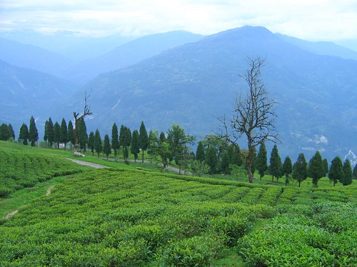 Temi Tea Garden Ravangla