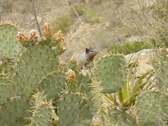 Ardilln de las Rocas (Spermophilus variegatus) (* Hi Tech Bio *) Tags: rock squirrel rocas ardilla mamiferos sciuridae ardillon