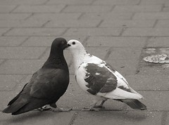 Pigeons kiss (okonetchnikov) Tags: bw germany kiss pigeons nurnberg abigfave