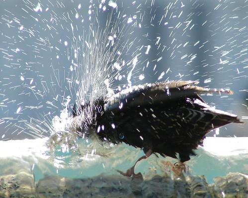 say birrrrrrrrrrrrrrd bath