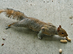 How Far Can I Stretch And Still Get The Peanut - Without Coming Too Close... (shesnuckinfuts) Tags: nature animal backyard squirrel wildlife stretch peanut furryfriday animalplanet kentwa sciuruscarolinensis easterngraysquirrel may2006 animaladdiction shesnuckinfuts