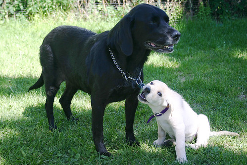 yellow and black labrador retrievers - Ebony and Lily