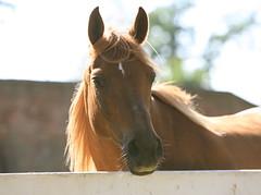 Flirt (akabyam) Tags: horse animals tag3 taggedout tag2 tag1 5d livestock animalplanet mountvernon akabyam alexandriavirginia