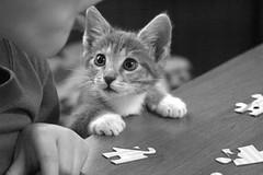 [フリー画像] [動物写真] [哺乳類] [ネコ科] [猫/ネコ] [子猫] [モノクロ写真]     [フリー素材]