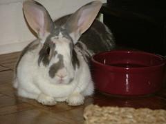 BBW (Super Gogo) Tags: rabbit bunny bbw bridget dewlap