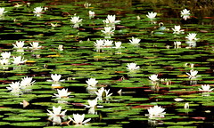 Acqua Flowers (pedrosimoes7) Tags: white flower green portugal water flora sintra acqua cpt monserrate naturesfinest thecontinuum 1on1nature flickrduel acquaflower