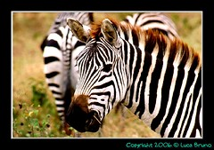 "TZ 98 Zebra • <a style=""font-size:0.8em;"" href=""http://www.flickr.com/photos/49106436@N00/171195041/"" target=""_blank"">View on Flickr</a>"
