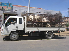 1460107094 (lizx830924y) Tags: transportation herdsman