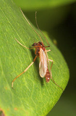 "A female chironomid (Diptera, Chironomidae) • <a style=""font-size:0.8em;"" href=""http://www.flickr.com/photos/57024565@N00/172488135/"" target=""_blank"">View on Flickr</a>"